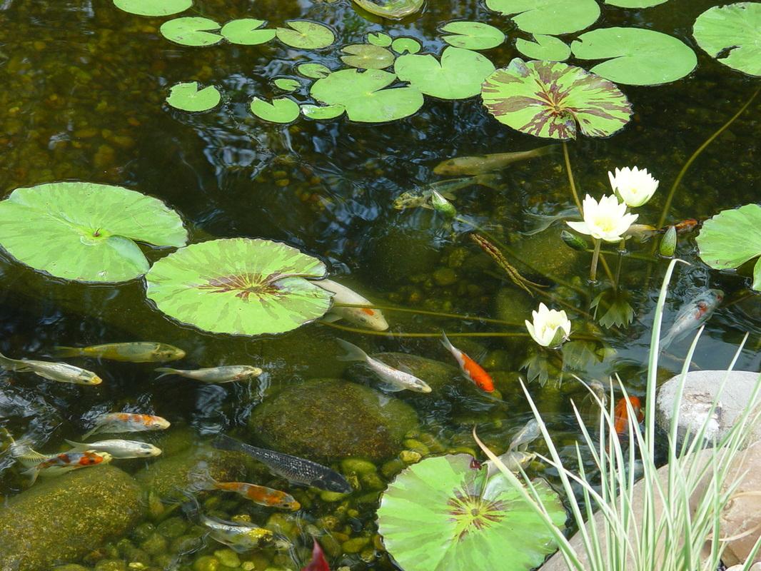 Water Gardens: Ecosystem Koi Fish Ponds